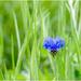 Lonely Cornflower