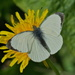 LARGE WHITE ON YELLOW by markp