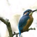 Male King Fisher by padlock