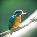 Male KIng Fisher about to eat by padlock