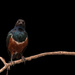 Superb Starling by leonbuys83