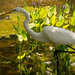 Great White Egret! by rickster549