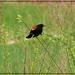 Red-Winged Black Bird in the Field by olivetreeann
