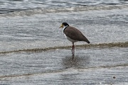27th May 2016 - Spur-winged plover