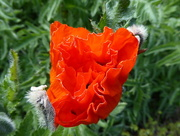 27th May 2016 - First Poppy