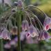 Allium by tonygig