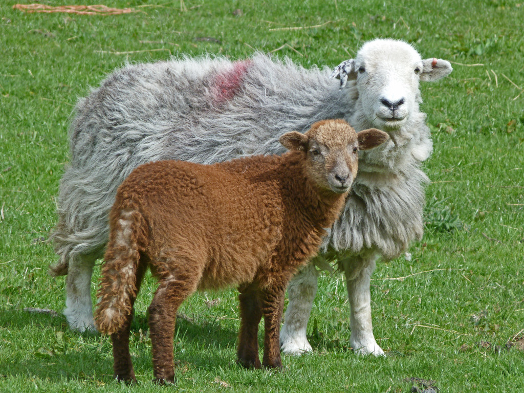 Herdwick sheep and lamb by shirleybankfarm