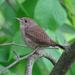 House Wren by annepann