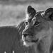 Lioness by salza