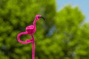 26th May 2016 - (Day 103) - Mr. Flamingo