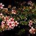 Manuka Flowers by nickspicsnz