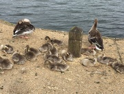 29th May 2016 - 2016 05 29 - Gaggle of Goslings!