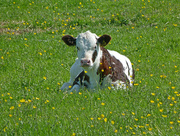 29th May 2016 - Calf in the buttercups.