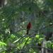 Cardinal, Magnolia Gardens, Charleston, SC by congaree