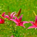 Day lilies by congaree
