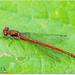 Large Red Damselfly by carolmw