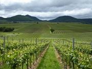 31st May 2016 - The vineyards of Rheinland Palatinate