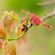 30th May 2016 - Baby oak leaves