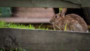 31st May 2016 - I'm chasing wabbits!