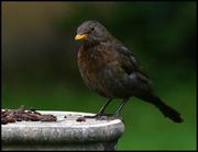 1st Jun 2016 - Mrs Blackbird