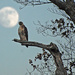 Hawk with Full Moon by farmreporter