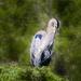 Blue Heron Grooming