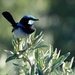 superb fairy wren by mjalkotzy
