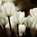 Sun-drenched Tulips by shepherdmanswife