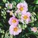 Wild roses.  by cocobella