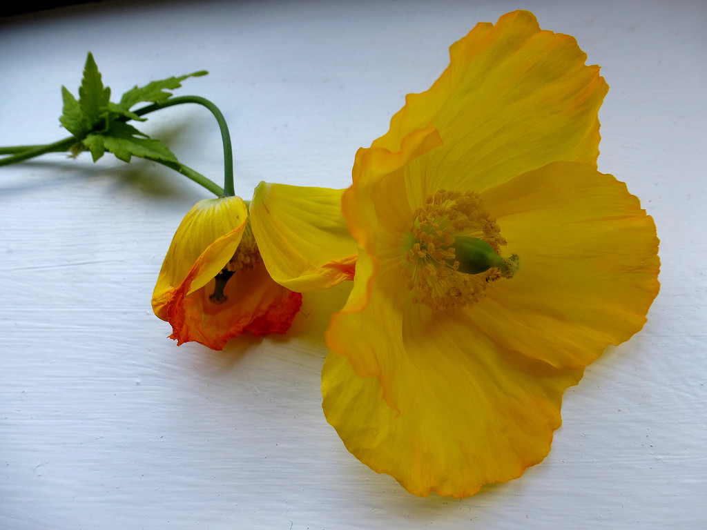 Welsh poppies... by snowy