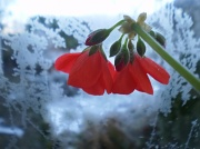 7th Dec 2010 - Jack Frost and the geranium,