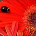A Guest on My Gerbera by olivetreeann