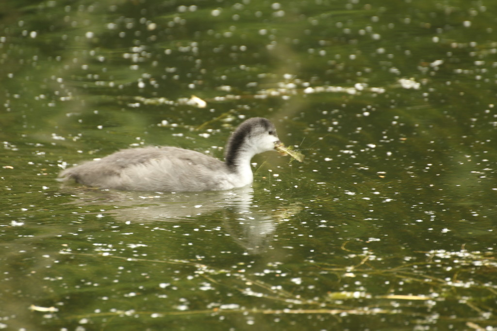 Baby Coot by bizziebeeme