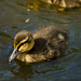 Duckling by elisasaeter