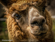 6th Jun 2016 - A is for Alpaca