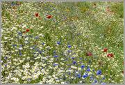 6th Jun 2016 - Wild Flowers