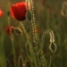 Poppy sparkle by shepherdmanswife