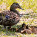 Momma Duck and her Brood! by rickster549
