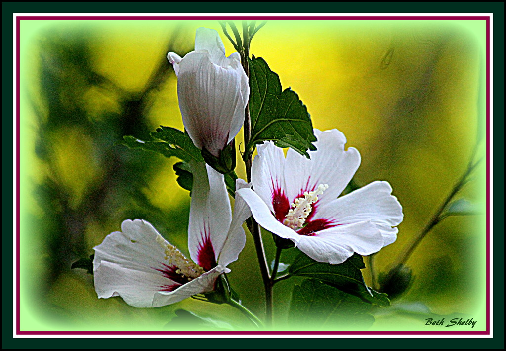 Another Rose of Sharon in Bloom by vernabeth