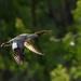 female merganser in flight by mjalkotzy