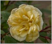 9th Jun 2016 - Yellow Rose