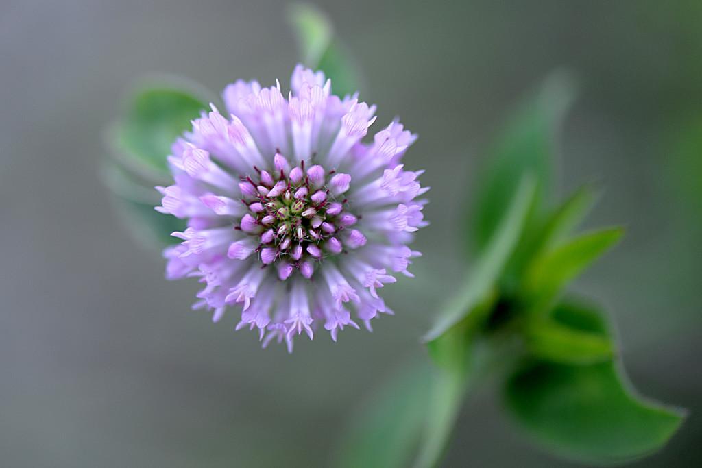 Purple clover! by fayefaye