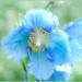 Meconopsis (Blue Himalayan Poppy) by carolmw