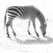 Zebra by stiggle