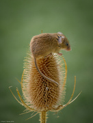 10th Jun 2016 -  Harvest Mouse (micromys minutus)