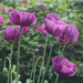 Early morning poppy (colour) by helenm2016