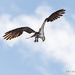 Osprey Hang Time: The Moment Before the Dive. by stefneyhart