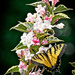 Canadian Tiger Swallowtail by gardencat