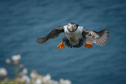 11th Jun 2016 - An Atlantic Puffin (Fratercula arctica)