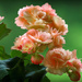 Begonia by mittens